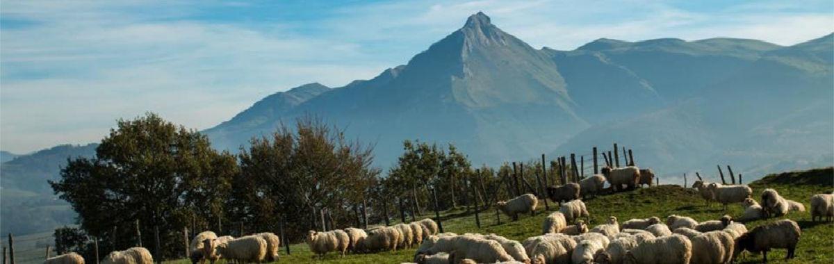 brebis pays basque